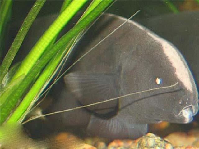 Аптеронотус Белокаймовый Черный Нож содержание и размножение в аквариуме