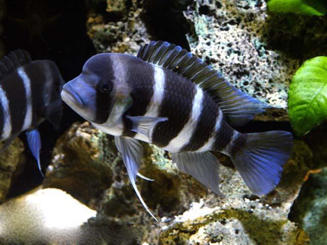 Фронтоза или Королева Танганьики условия содержания в видовом аквариуме