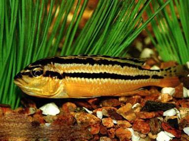 Меланохромис золотой или попугай золотой (Melanochromis auratus)