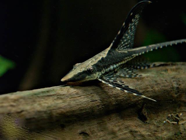 Стуризома панамская (Sturisoma panamense)
