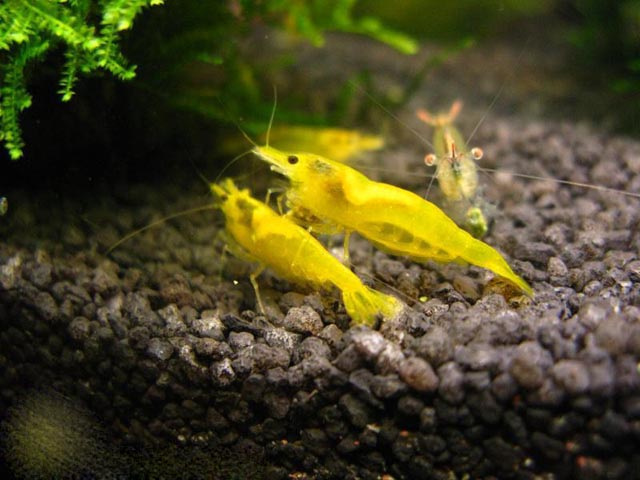 Желтая Жемчужина (Yellow shrimp, Neocaridina heteropoda var. Yellow)