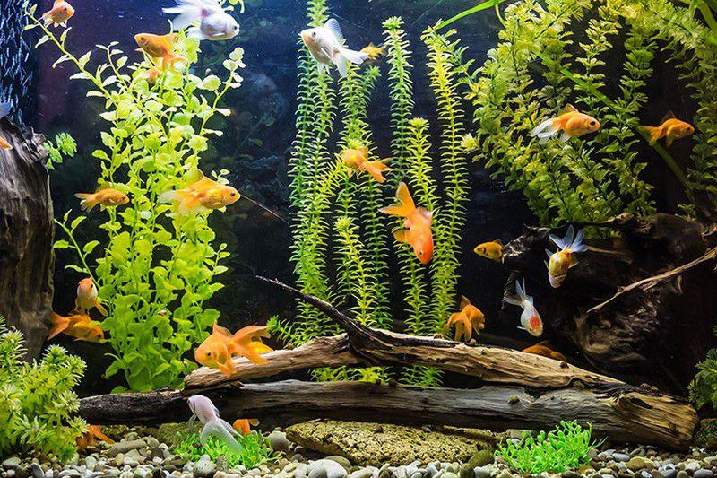 Что делать, если рыбка съедает других рыб в аквариуме?